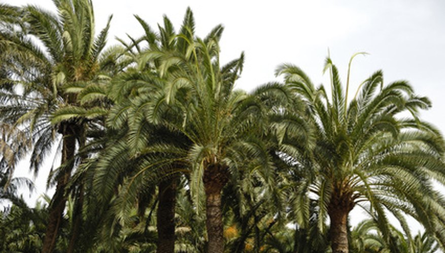Califorinia fan palms line the streets of many desert communities.