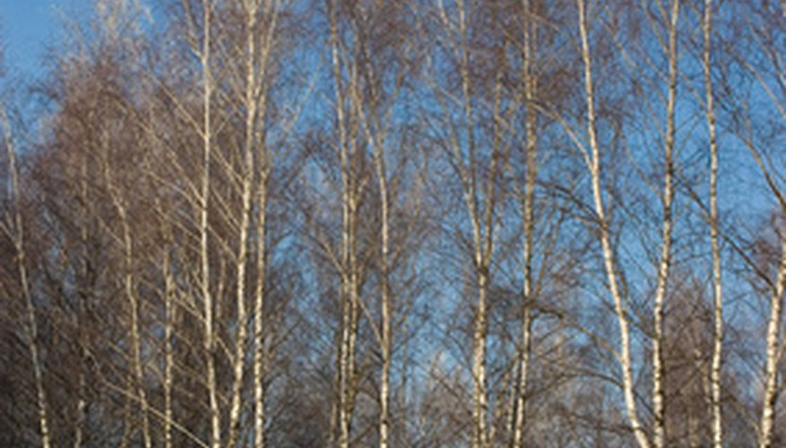 White birch blend into the winter landscape.
