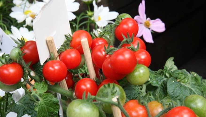 Cherry tomatoes thrive in a container.