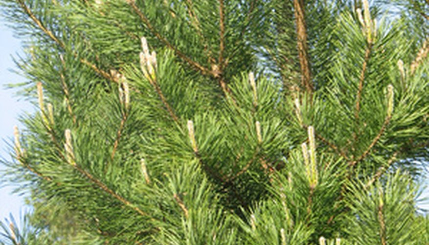 Japanese spruce trees are large conifers.