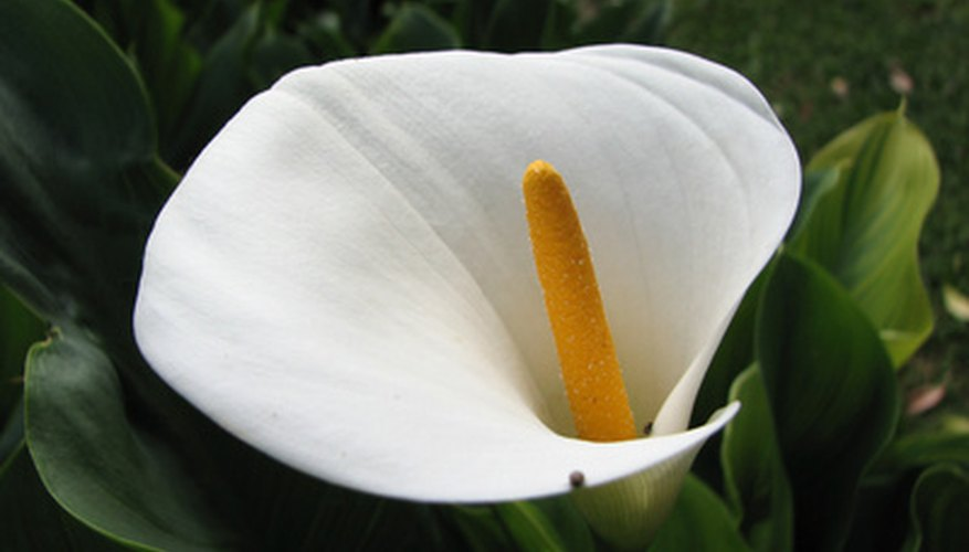 Callas are elegant and long lasting.