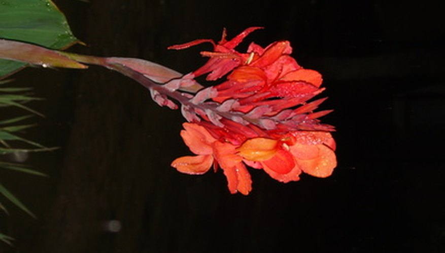 Water cannas thrive in moist, boggy soils around ponds and water gardens.