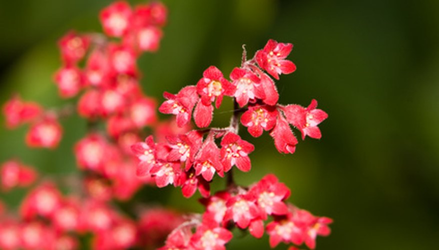 The coral pink flowers of a Huechera cultivar.