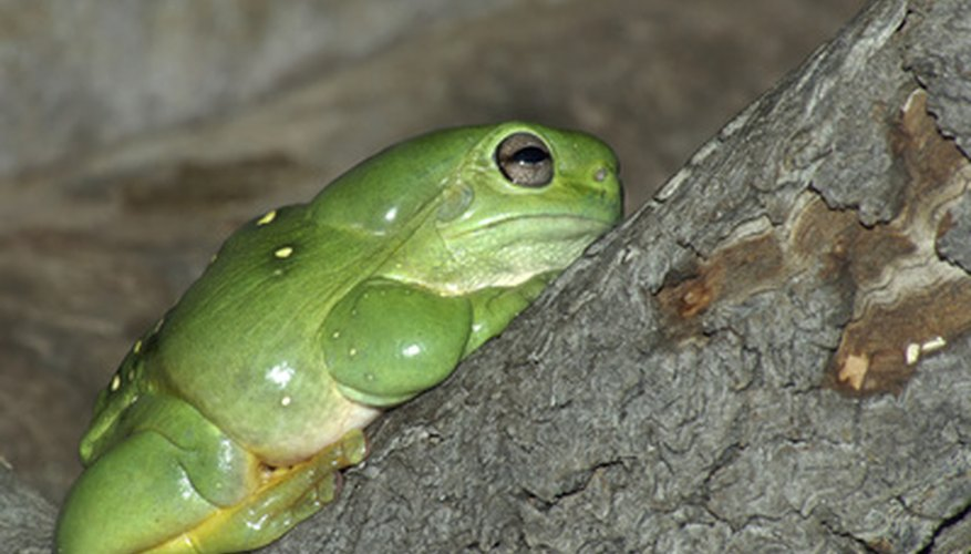 American tree frogs can be a great addition to your garden and may hide in your downspout.