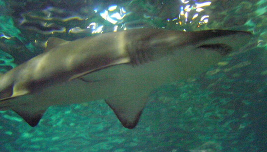 Sharks are among the top predators in the food chain.