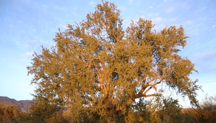 Mesquite trees grow well in North Texas.