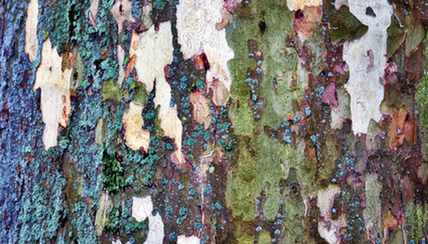 Plane tree bark is scaled and mottled in colors.