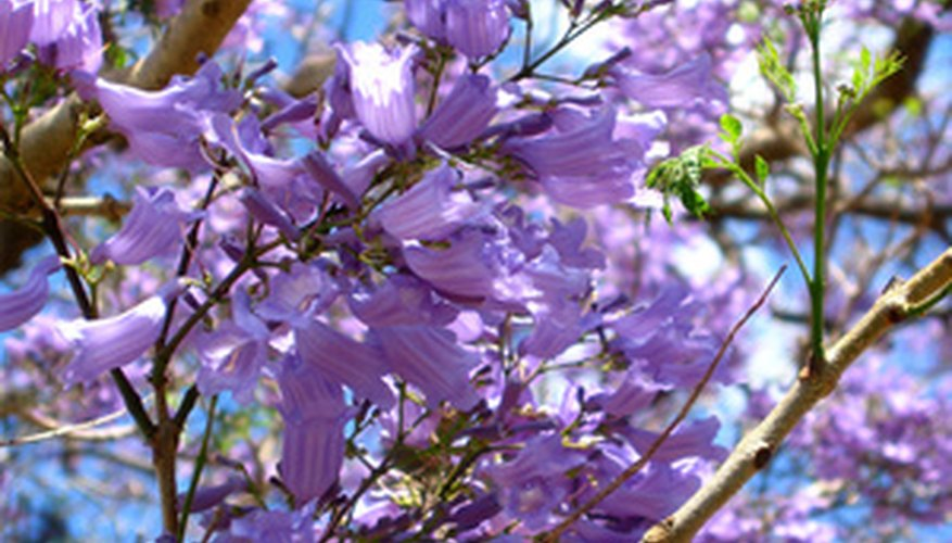 A jacaranda tree in full bloom.