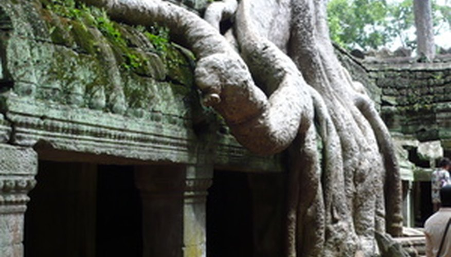 The aerial roots of the ficus tree let it grow on top of trees or buildings.