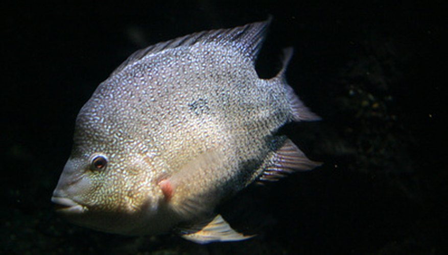 Tilapia are a commonly farmed fish