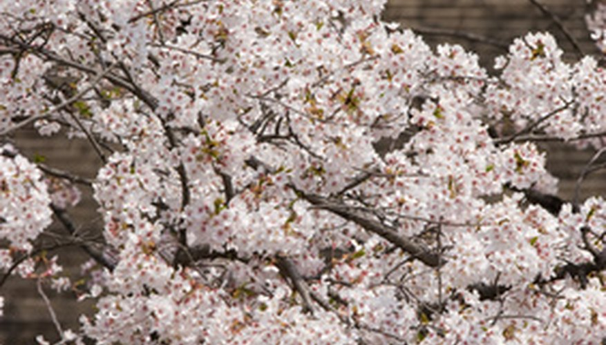 Keeping your weeping cherry healthy can help prevent gummosis.