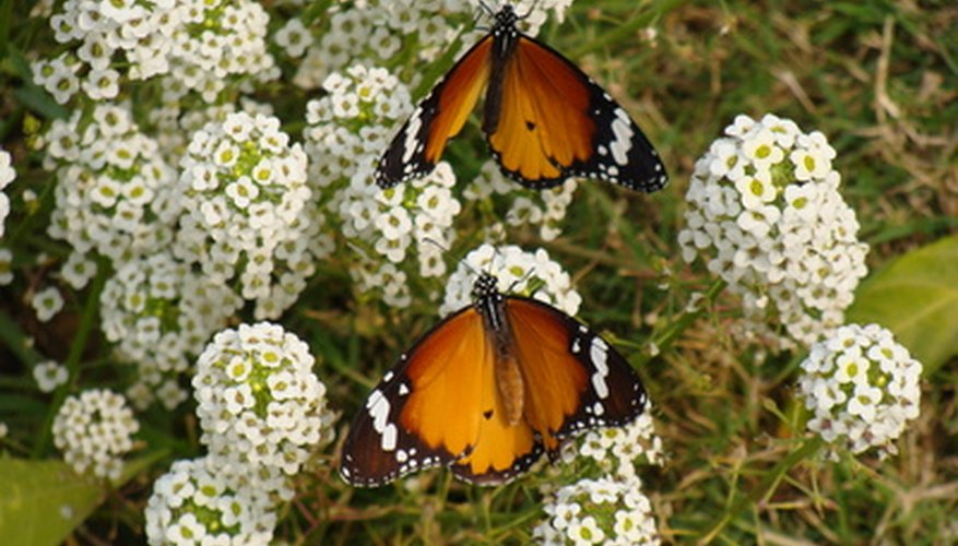Butterflies attracted to a perennial flower