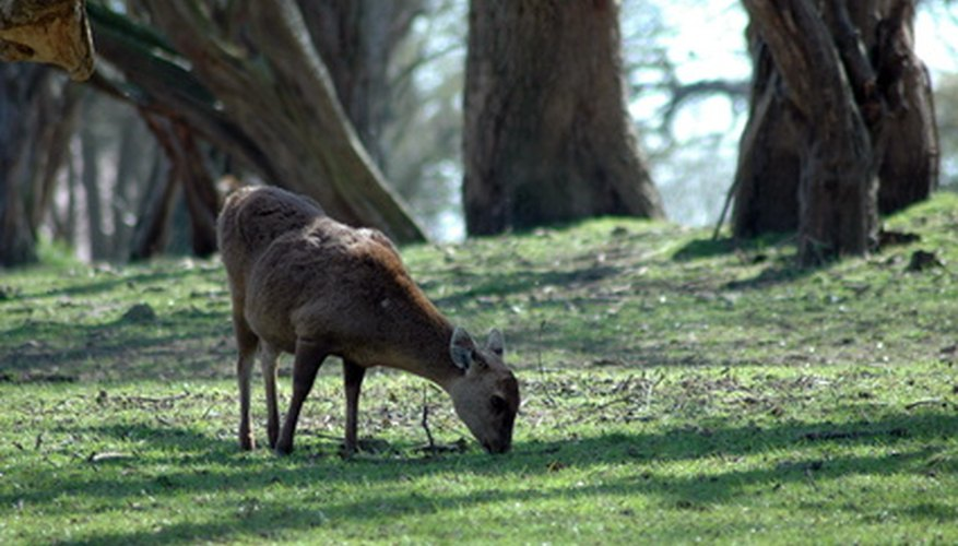 A deer grazing for food