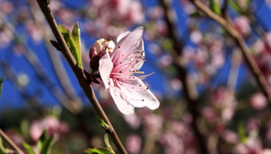 An almond tree in bloom
