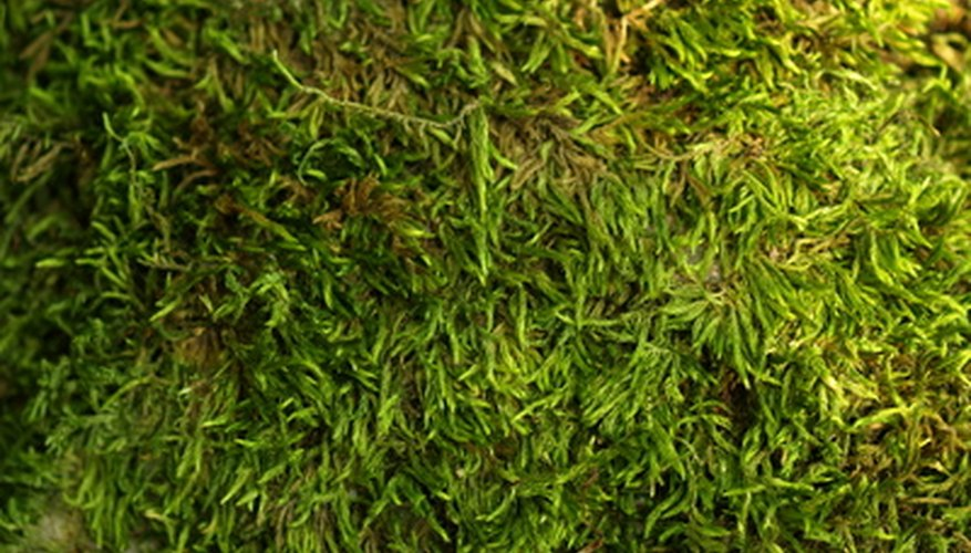 A moss lawn stays green all year-round.