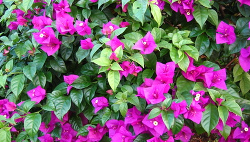 Purple bougainvillea bracts surround its tiny white flowers.