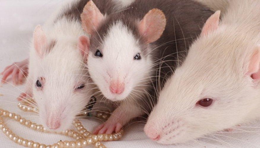 Las ratas, un roedor común, pueden considerarse tanto pestes como mascotas.