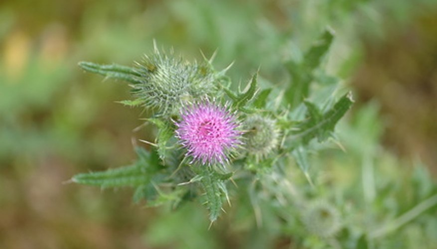 Milk thistle showing spiny leaves