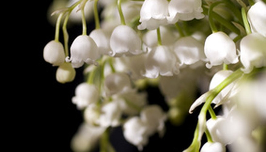 Lily of the valley is one plant that can grow well under pine trees.