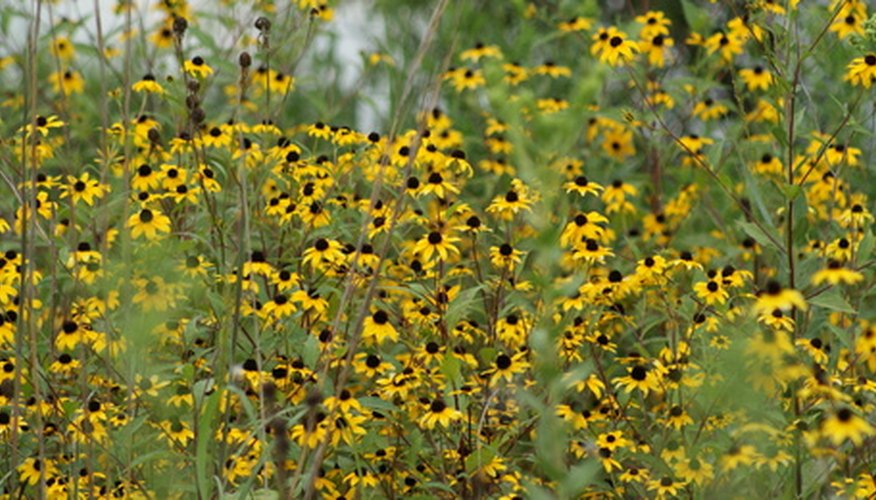 Black-eyed Susans grow wild in many areas, but also make good landscaping plants.