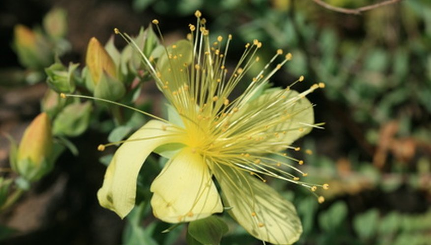 Hypericum flowers are followed by attractive berries.