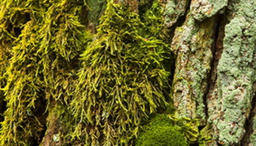 Dense mats of moss are made up of a multitude of tiny plants.