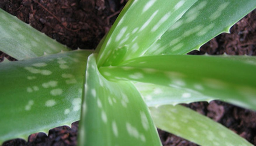 Aloe vera plants are used around the home for wound treatment.