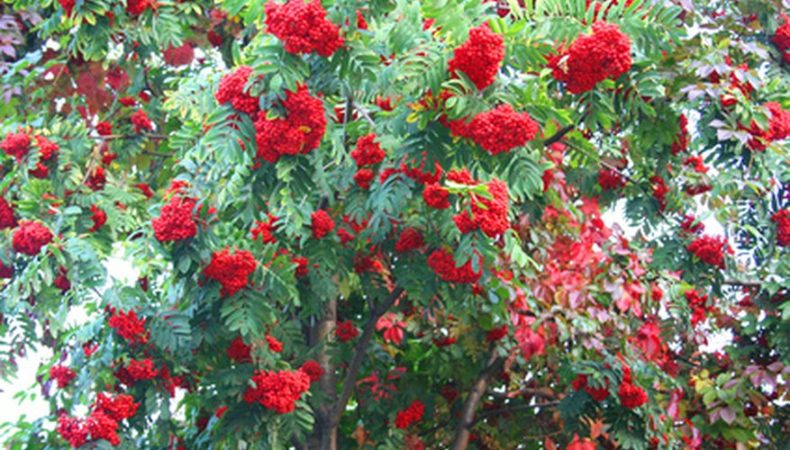 A Royal Poinciana tree in full bloom.