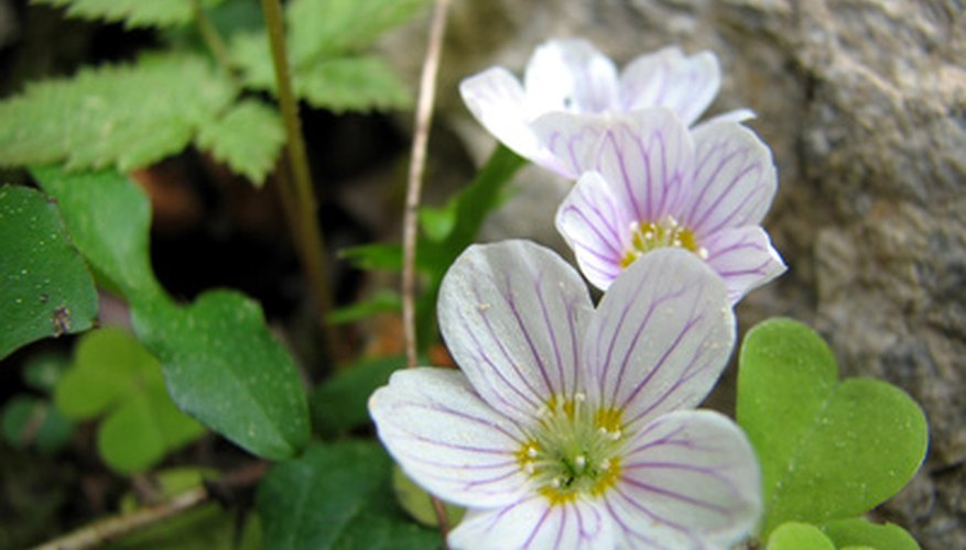 Oxalis produces small, pink flowers in the spring and summer.