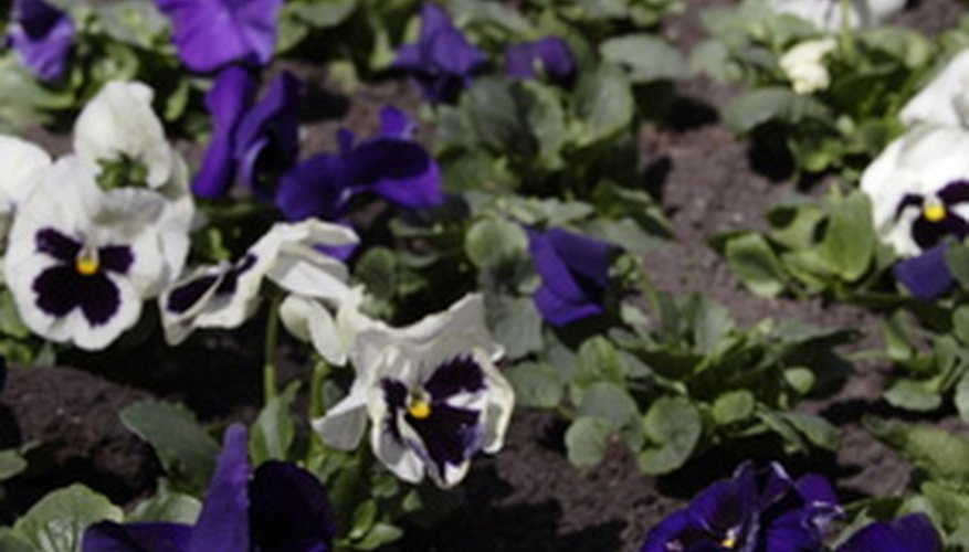 Violets are perennial flowers that are well-suited to for the north side of a house.