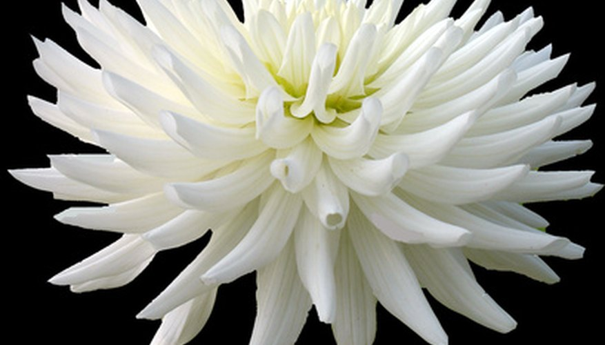 Dahlias are known for their large blooms.