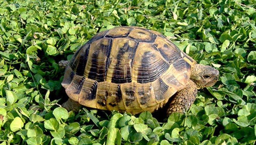 Algunas tortugas hibernan durante los climas más fríos.