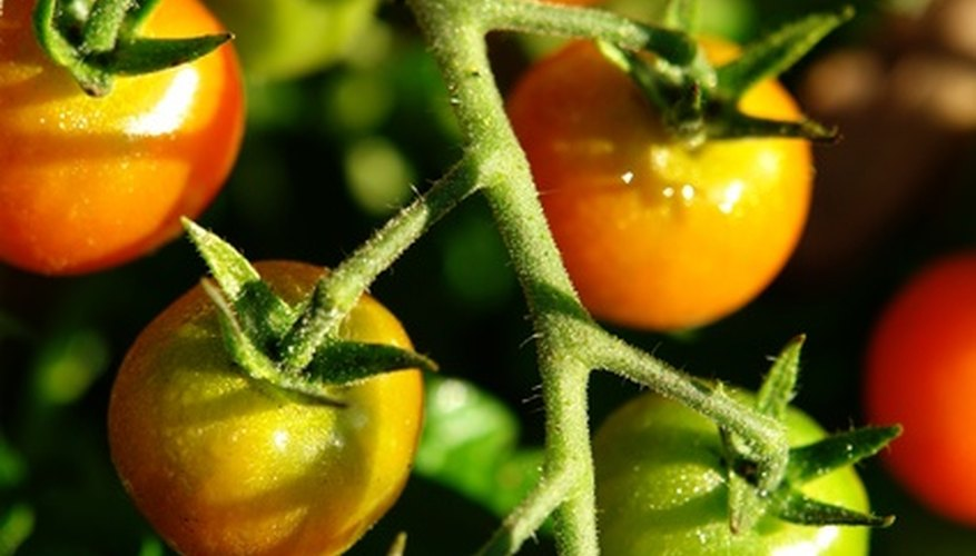 Tomatoes are fruiting vegetables.