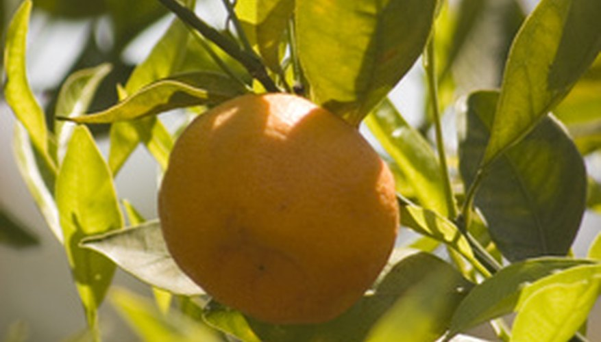 Orange trees thrive in the Florida sun.