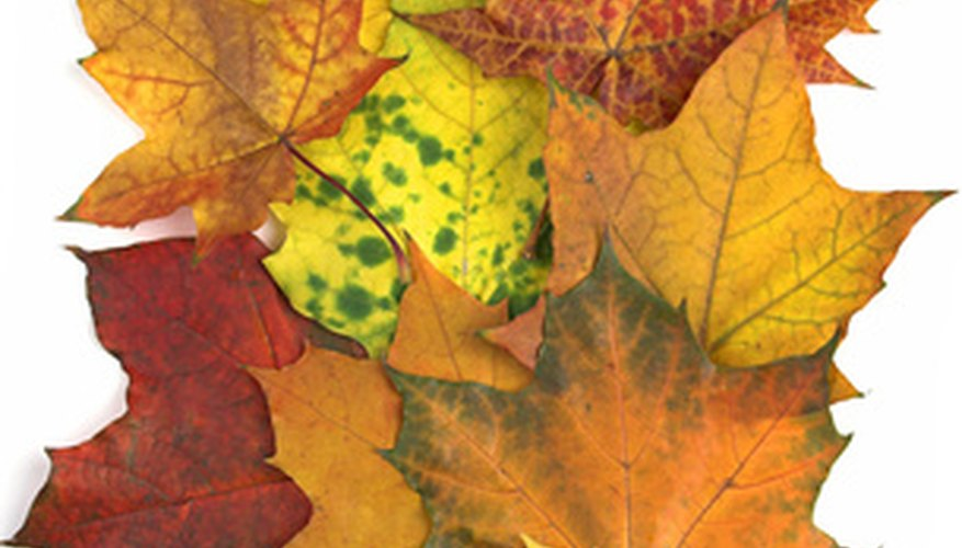 Sugar maple leaves in a variety of colors