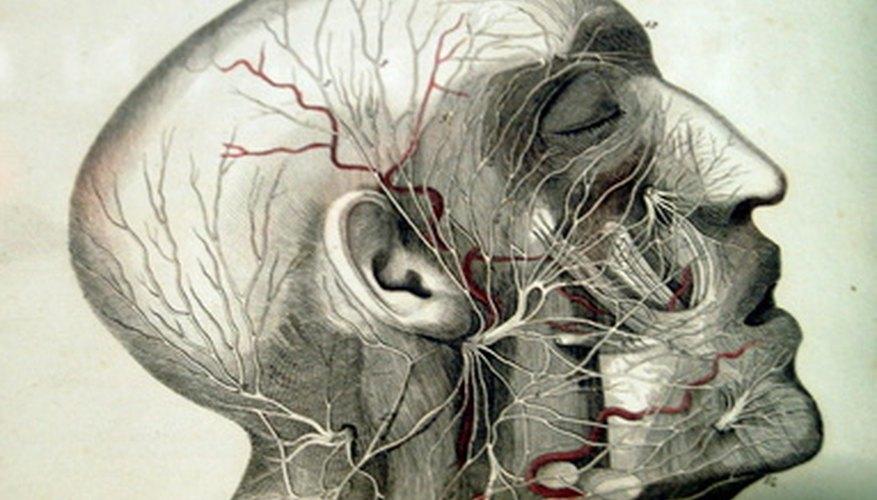 Glándulas en el cuerpo humano.