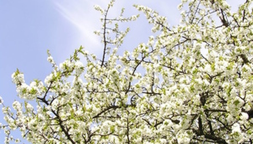 Cherry trees can benefit from light fertilization.