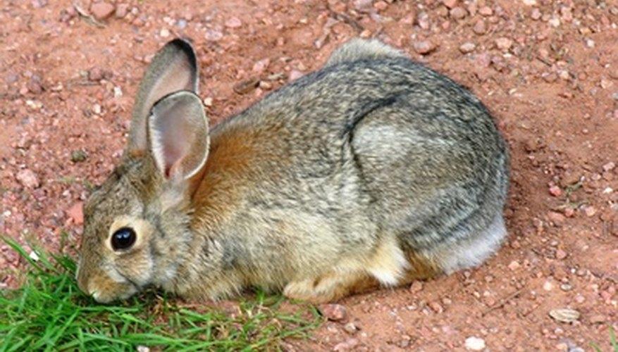 Los conejos silvestres son una molestia en algunas zonas.