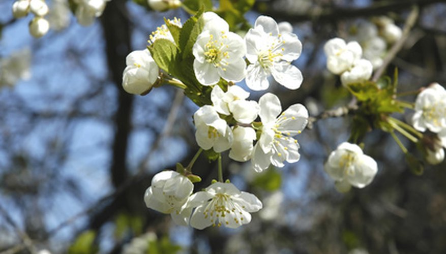 Gibberellic acid affects flower production on cherry trees.