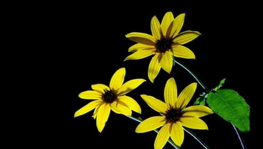 The highly endangered desert sunflower grows only in four sites in California, Arizona and Baja California.