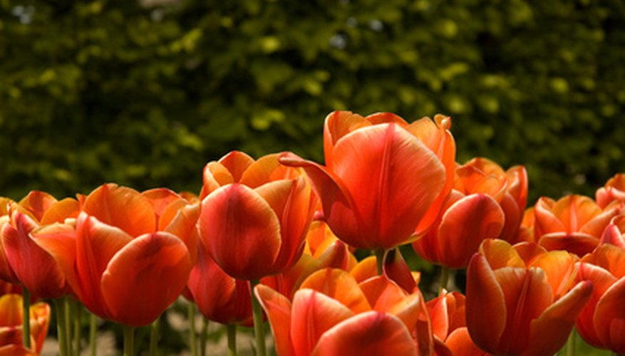 Turkish gardeners enjoyed tulips long before the Dutch.