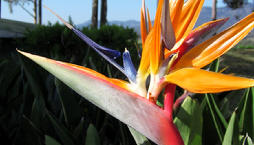 The bloom of this plant resembles the brightly colored feathers of the bird of paradise.