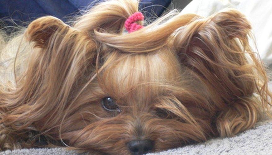 Yorkies do not always appreciate having their hair styled.