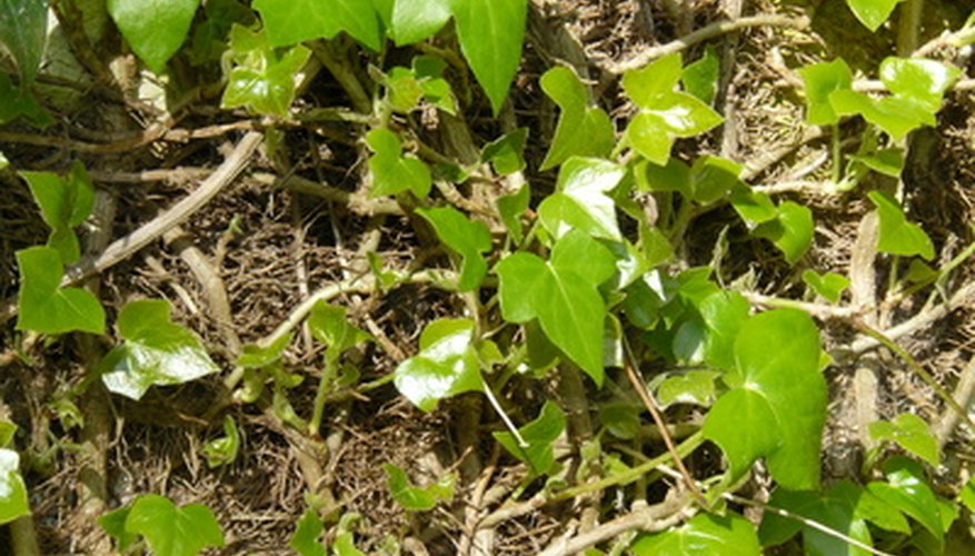 Solid-colored ivy (non-variegated)