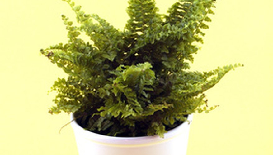 Choose dwarf ferns for a bottle garden.