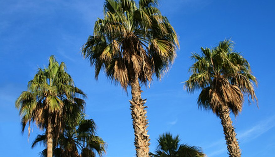 Old specimens of Mexican fan palm may reach 90 feet.