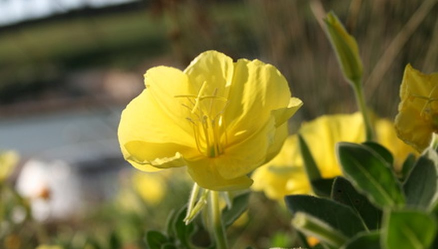 Yellow ranunculus are a lovely addition to the cottage garden.