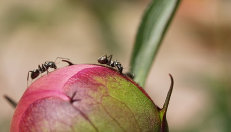 Ants do not make the buds of the peonies open.