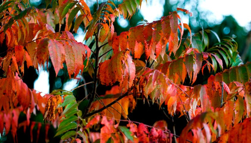 Poison sumac makes a stunning display of color in the fall, but be careful around its leaves.