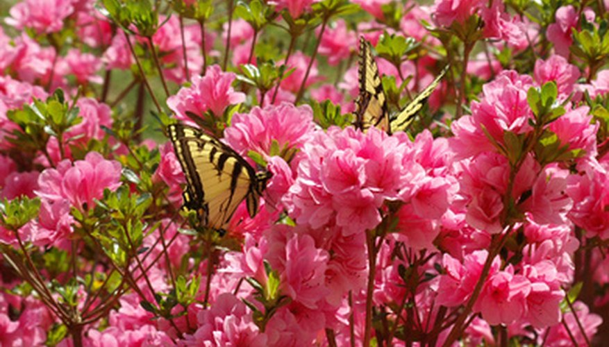 Butterflies help transfer pollen grains as they move from flower to flower.